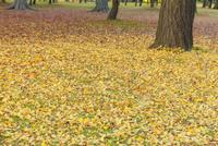 黄葉の銀杏落ち葉の絨毯