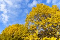 黄葉の銀杏