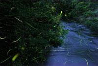 蛍の乱舞 10313000134  写真素材・ストックフォト・画像・イラスト素材 アマナイメージズ