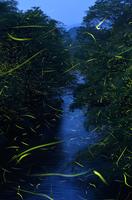 蛍の舞う川