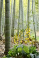 竹林に咲くエビネ