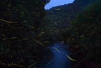 蛍の乱舞 10313000620  写真素材・ストックフォト・画像・イラスト素材 アマナイメージズ