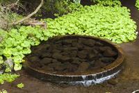 柿田川公園の湧水