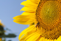 花の都公園のヒマワリとミツバチ