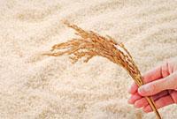 稲穂と米 10323002428| 写真素材・ストックフォト・画像・イラスト素材|アマナイメージズ