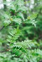 山椒の若葉(木の芽)