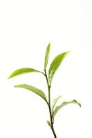 茶葉 10323005255  写真素材・ストックフォト・画像・イラスト素材 アマナイメージズ