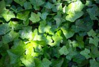 木漏れ日のあたる蔦の葉 10330000130| 写真素材・ストックフォト・画像・イラスト素材|アマナイメージズ