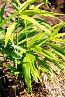 土生姜の葉