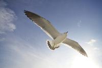 翼を広げたウミネコ