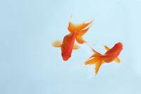金魚 10341000707| 写真素材・ストックフォト・画像・イラスト素材|アマナイメージズ