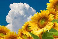 向日葵と入道雲