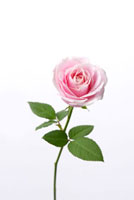 薔薇 10341002152| 写真素材・ストックフォト・画像・イラスト素材|アマナイメージズ