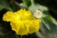ヘチマの花とモンシロチョウ 10341002513| 写真素材・ストックフォト・画像・イラスト素材|アマナイメージズ