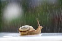 雨にうたれるカタツムリ