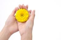 女性の手とガーベラ 10341003095| 写真素材・ストックフォト・画像・イラスト素材|アマナイメージズ