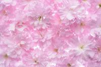 八重桜 10341007647| 写真素材・ストックフォト・画像・イラスト素材|アマナイメージズ