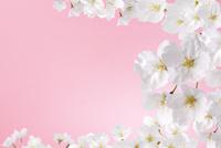 桜 10341007838| 写真素材・ストックフォト・画像・イラスト素材|アマナイメージズ