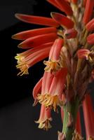 アロエの花 10341008329| 写真素材・ストックフォト・画像・イラスト素材|アマナイメージズ