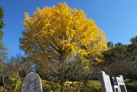 福岡県 梅林寺の銀杏