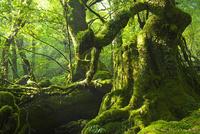 屋久島 苔むす森