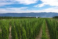 久留米市田主丸町の植木栽培
