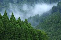 南小国町の杉林 10341011317| 写真素材・ストックフォト・画像・イラスト素材|アマナイメージズ