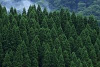南小国町の杉林 10341011318| 写真素材・ストックフォト・画像・イラスト素材|アマナイメージズ