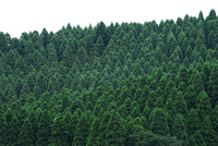南小国町の杉林 10341011320| 写真素材・ストックフォト・画像・イラスト素材|アマナイメージズ