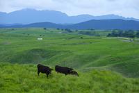 阿蘇の黒毛和牛 10341011322| 写真素材・ストックフォト・画像・イラスト素材|アマナイメージズ
