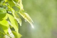 若葉と水滴