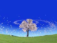 一本の桜と回転する桜吹雪
