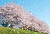 花びらの舞う桜