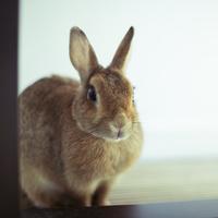 ウサギ 10367006327| 写真素材・ストックフォト・画像・イラスト素材|アマナイメージズ