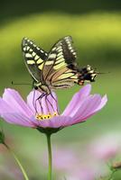 アゲハチョウとコスモス