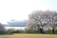 鳥屋野潟公園の桜とデンカビッグスワンスタジアム
