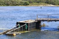 三面川の鮭漁の仕掛け 10370007591| 写真素材・ストックフォト・画像・イラスト素材|アマナイメージズ