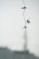 朝顔の葉と雨