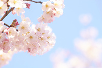青空の下で咲く鮮やかな桜