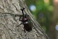 クヌギの木に止まるカブトムシの雄 10388000023| 写真素材・ストックフォト・画像・イラスト素材|アマナイメージズ