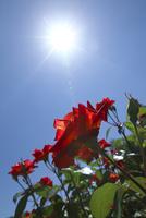 赤いバラの花と太陽