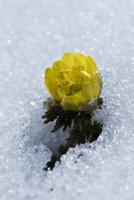 雪の中のフクジュソウの花