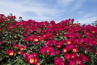 赤いバラの花 10389006734| 写真素材・ストックフォト・画像・イラスト素材|アマナイメージズ