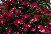 赤いバラの花 10389007058| 写真素材・ストックフォト・画像・イラスト素材|アマナイメージズ
