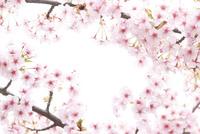 河津桜 10404010660| 写真素材・ストックフォト・画像・イラスト素材|アマナイメージズ