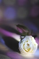 白いフレッシュバラに当たる色ガラスの光 10405000766| 写真素材・ストックフォト・画像・イラスト素材|アマナイメージズ