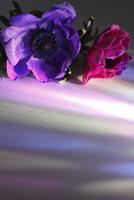 紫のフレッシュアネモネとピンクのフレッシュアネモネに当たる色ガラスの光 10405000769| 写真素材・ストックフォト・画像・イラスト素材|アマナイメージズ