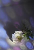 白いフレッシュアネモネに当たる色ガラスの光 10405000773| 写真素材・ストックフォト・画像・イラスト素材|アマナイメージズ