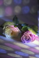 白いフレッシュバラとピンクのフレッシュバラに当たる色ガラスの光 10405000775| 写真素材・ストックフォト・画像・イラスト素材|アマナイメージズ