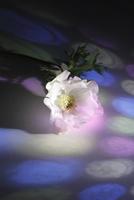 白いフレッシュアネモネに当たる色ガラスの光 10405000785| 写真素材・ストックフォト・画像・イラスト素材|アマナイメージズ